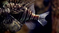 Lion fish close up video