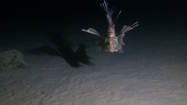 Lion Fish hunting at night video