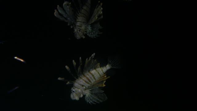 Lion Fish hunting at night video