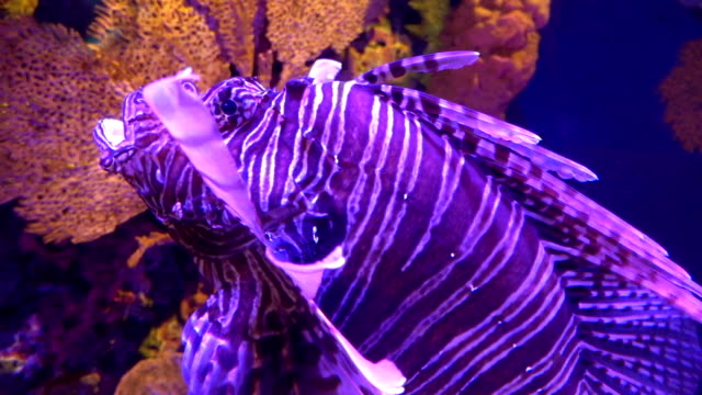 Lion fish swimming under water video