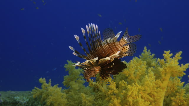 Lion Fish video
