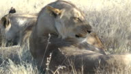 lion grooming video