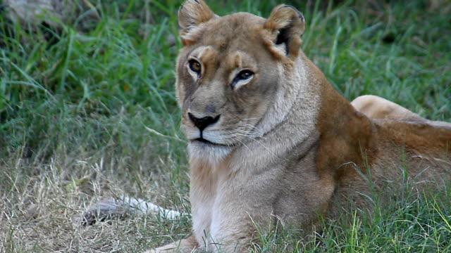 Lion HD video