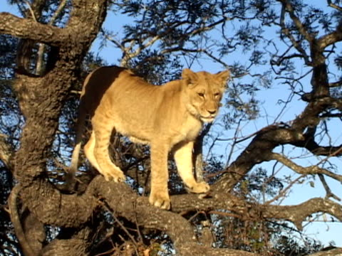 Lion in tree video