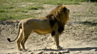 Lion is walking around and looking at camera twice. video