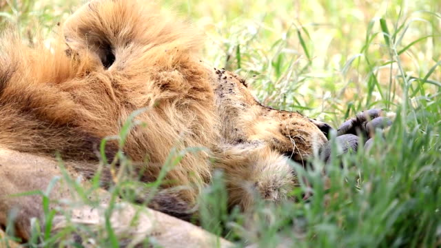 Lion Licking video