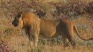 Lion - Loewe video