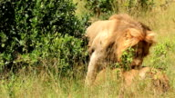 Lion Mating video