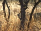 Lion moving behind grass video
