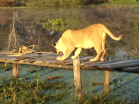 Lion on jetty video