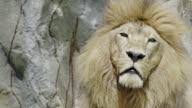 Lion portrait close up video
