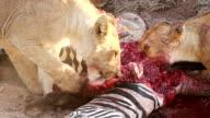 Lion pride eating zebra video