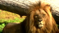 Lion relaxing in the grass video