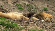 lion resting video