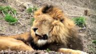 lion resting video