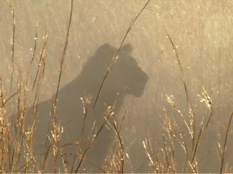 Lion silhouette video