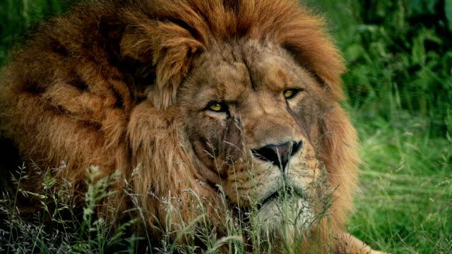 Lion Turns Around Closeup video