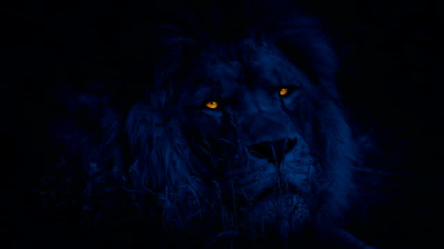 Lion Turns Around With Glowing Eyes At Night video