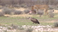 Lion video