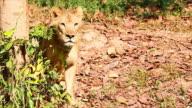 Lion. video
