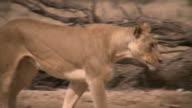 Lion walking in the Kalahari desert video