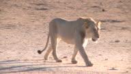 Lion walking towards a waterhole in the Kalahari Gemsbok Park video