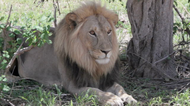 lion watching lazily in a shadowy spot video