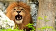 Lion yawning video
