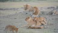 Lioncub video