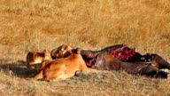 Lioness and cub eating buffalo corps video