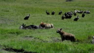 Lioness and Scavengers in the Serengeti video