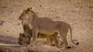 Lioness at waterhole video