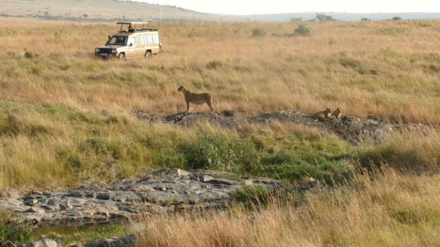 Lioness at wild - watching for preying video