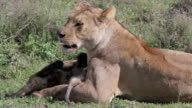 lioness cleaning cub closeup video