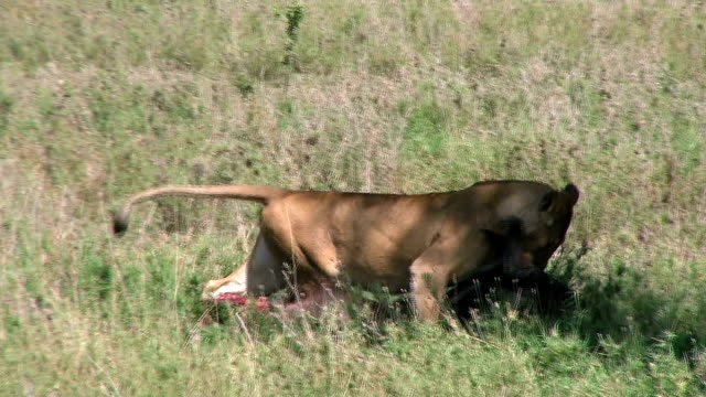 Lioness dragging a prey at the Serengeti video