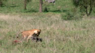 Lioness dragging a prey at the Serengetin video