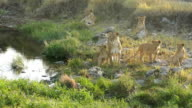 Lioness drinking and resting with cubs - Loving video