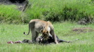 Lioness Eating a Wildebeest video