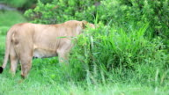 lioness grazing video