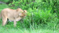 Lioness Grazing video