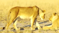 Lioness greeting video