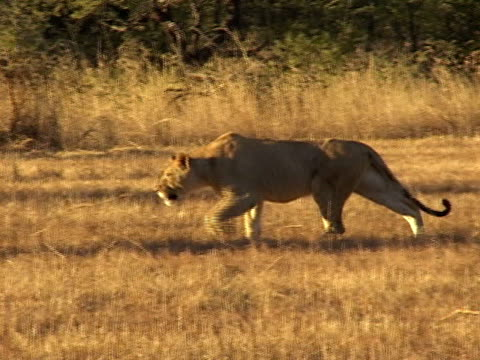 Lioness hunting video