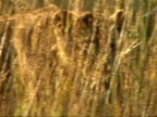 Lioness in long grass video