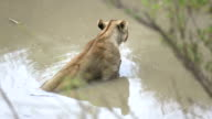 Lioness in water video