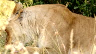 Lioness Licking video