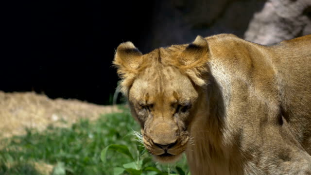 Lioness looks up at meat being tossed video