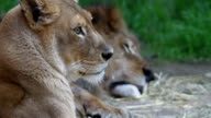 Lioness on Guard video