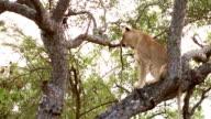 Lioness On Tree in Kruger Wildlife Reserve video