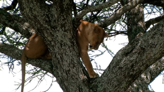 Lioness resting in a tree at the Serengetin national park video