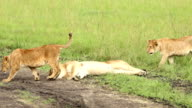 Lioness resting with cubs video
